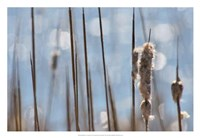 Light Dance on Cattails I Fine Art Print