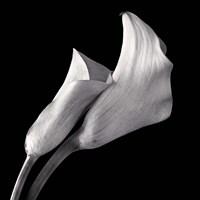 Calla Lilies Fine Art Print