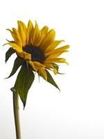 Sunflower 1 Fine Art Print