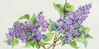 Lilac Sprigs Fine Art Print