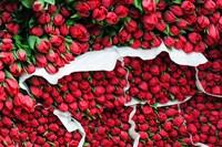 Tulip Street Vendor, Denmark Fine Art Print