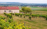 View Over the Mother Vines, Champagne, France Fine Art Print