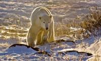 Churchchill Polar Bear Fine Art Print