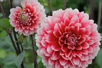 St Andrews Dahlia Flowers Fine Art Print