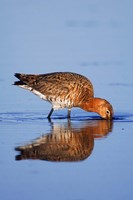 Black-Tailed Godwit Bird Fine Art Print