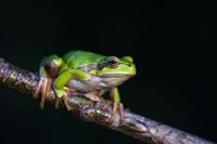 Tree Frog in Lake Neusiedl Fine Art Print
