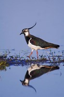 Northern Lapwing Butterfly Fine Art Print