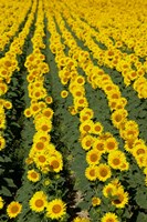 Sunflowers, Provence, France Fine Art Print