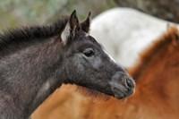 Camargue Horse Foal Fine Art Print