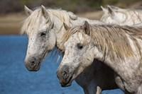 Camargue Horses Run through Water Fine Art Print