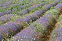 Rows of Lavender in France Fine Art Print