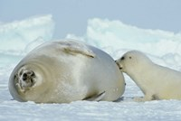Harp Seal on Magdalen Island Fine Art Print