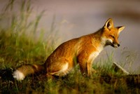 Red Fox Cub Fine Art Print