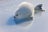 Harp Seal Pup on Ice Fine Art Print