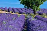 Lavender Tree, France Fine Art Print