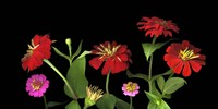 Mixed Zinnias Fine Art Print