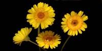 Yellow Gerbera Daisies Fine Art Print