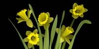 Daffodils 4 Fine Art Print