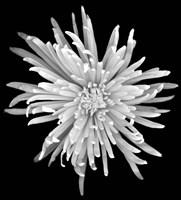 Chrysanthemum 1 Fine Art Print