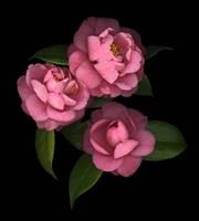Camellia 8 Fine Art Print
