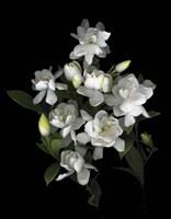 Gardenia '06 Fine Art Print