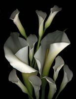 White & Crystal Blue Callas 2 Fine Art Print
