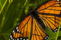 Orange Butterfly And Greenery Closeup Fine Art Print