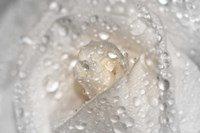 White Rose Closeup With Dew I Framed Print