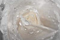 White Rose Closeup With Dew II Framed Print
