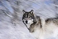 River Wolf I Framed Print