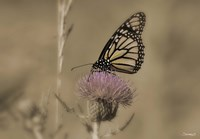 Black And White Butterfly On Flower Fine Art Print