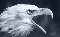 Bald Eagle 4 Fine Art Print