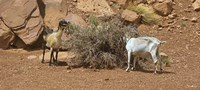 Monument Valley Goats 17 Fine Art Print