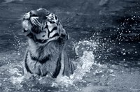 Tiger Splash Fine Art Print