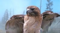 Skies Of Yellowstone - Redtail Hawk Fine Art Print