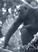 Gorilla 2 Fine Art Print