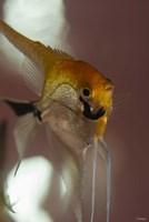 Angel Fish VIII Fine Art Print