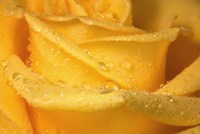 Yellow Rose And Dew Closeup Fine Art Print