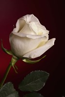 White Rose On Red Fine Art Print