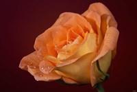 Orang Rose On Red Glow Closeup Fine Art Print