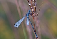 Blue Dragonfly On Stem Fine Art Print