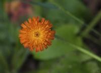 North Shore Orange Flower Fine Art Print
