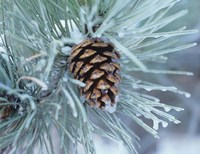 Frosted Pine Cone And Pine Needles I Fine Art Print