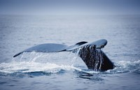 Whale Tail And Sea Fine Art Print