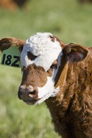 Cow Tag I Fine Art Print