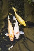 Fish Trio Fine Art Print