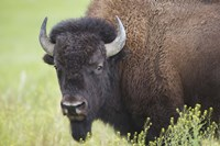 Buffalo Closeup I Framed Print