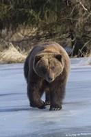 Bear On The Prowl Fine Art Print