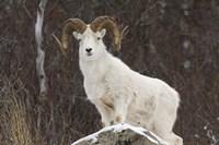 White Ram Brown Horns I Framed Print
