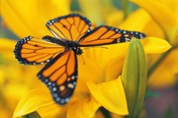 Orange Butterfly Landing Fine Art Print